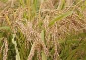 مجوز عجیب 2 وزارتخانه برای آزادسازی صادرات برنج خوزستان/ مگر کشت برنج غیر از شمال ممنوع نبود؟+سند