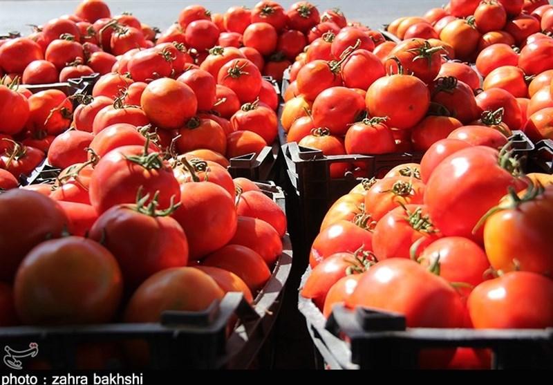 240 هزار تن گوجه فرنگی خرید تضمینی شد