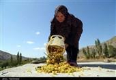 اقتصاد بدون نفت  از انگور تا کشمش در تاکستانهای خراسان شمالی به روایت تصاویر