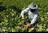تاکداران خراسان شمالی مراقب آفت «سفیدک انگور» باشند