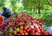 بحران فروش محصولات کشاورزان در ایران| اندر حکایت مصائب باغداران سیب درختی / ثروتی که با بیتدبیری از بین رفت