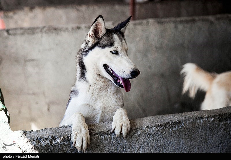 """مشاهده """"سگهای هار ولگرد"""" در تهران/ صدور دستور جمعآوری از سطح شهر"""
