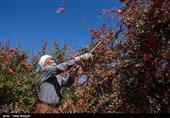 قصه پرغصه زرشککاران خراسان جنوبی؛ مسئولان یاقوت سرخ کویر را دریابند + تصویر
