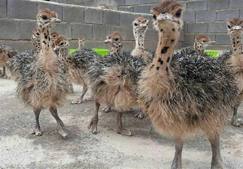 جوجه شترمرغ یک روزه از خراسان جنوبی به ازبکستان صادر میشود
