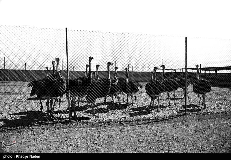 پرورش شترمرغ در میمه شاهین شهر اصفهان