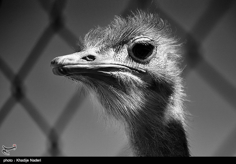 شترمرغ ظاهر منحصربهفردی دارد که آن را از پرندگان دیگر متمایز میکند. آنها با گردن و پاهای بلند خود قادرند با سرعت حدود ۷۰ کیلومتر بر ساعت بدوند که بالاترین سرعت زمینی در میان تمام پرندههاست.