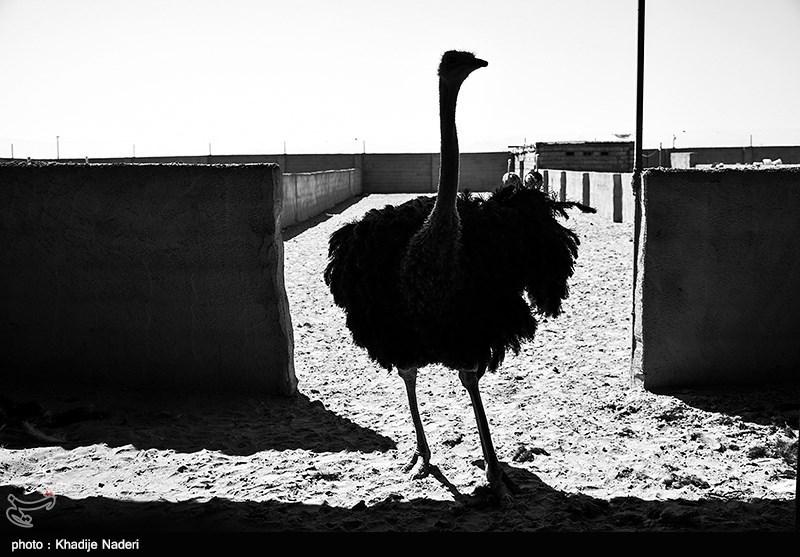 این کارگاه پرورش شتر مرع در جاده میمه اصفهان میباشد که متاسفانه هنوز گازکشی نشده است .