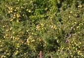 دسترنج باغداران کهگیلویه و بویراحمد در جیب دلالان؛ جهاد کشاورزی در خواب عمیق فرو رفته است