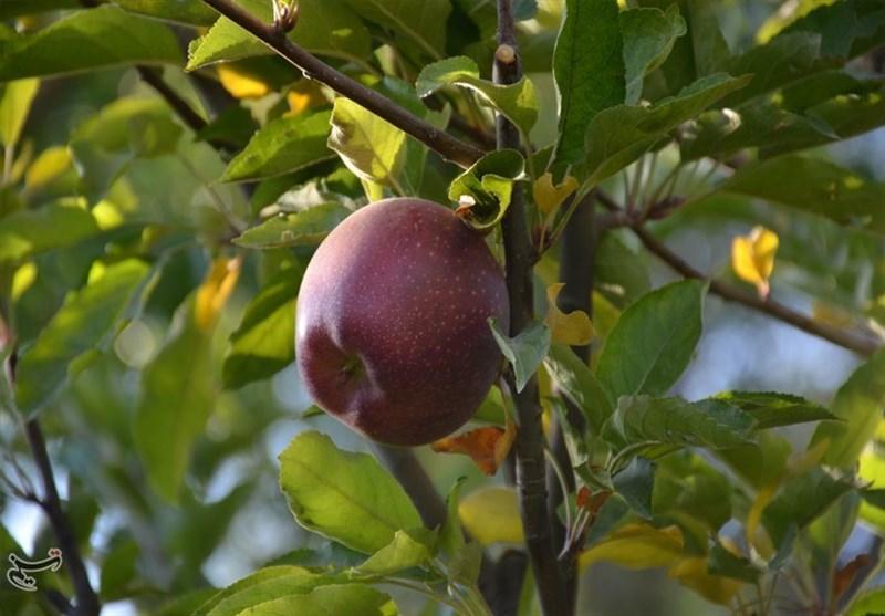 سیب هم از بام قیمت سقوط کرد؛ قصه پرغصه کشاورزان زنجانی