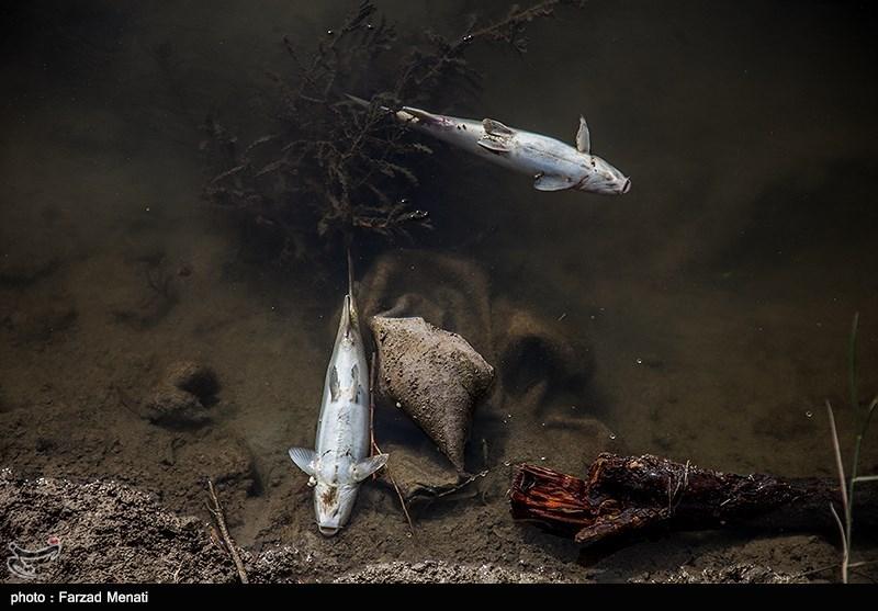 تلفشدن هزاران ماهی در رودخانه قرهسوی کرمانشاه + فیلم