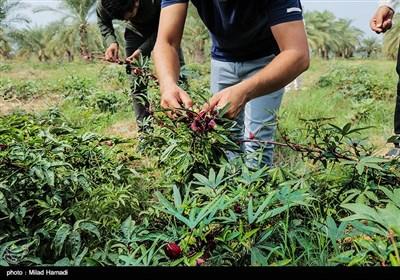 بوته های چای قرمز در زمینهای سیلزده علوه