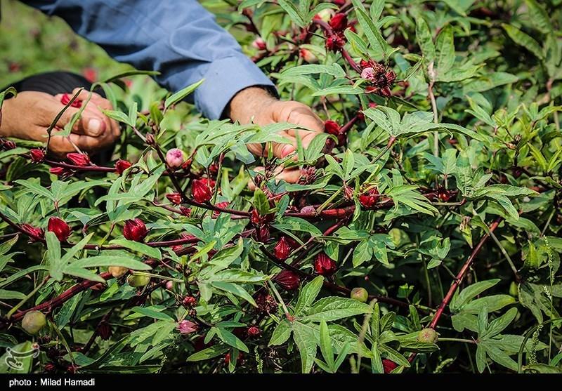 """ابتکار یک جوان روستایی خوزستانی در منطقه محروم/ برای نخستینبار در رامشیر """"چای قرمز"""" کشت شد + فیلم"""