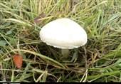 مسئولان بهداشتی کرمانشاه در مورد استفاده از قارچهای کوهی هشدار دادند