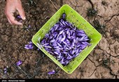رشد 96 و 93 درصدی حجم و ارزش معاملات آتی زعفران در بورس کالا