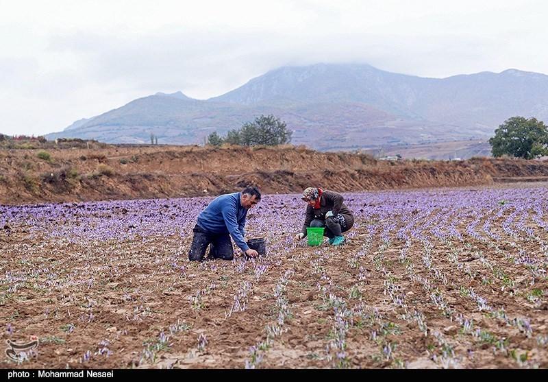 برداشت زعفران در آزادشهر گلستان