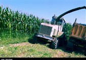 «کشاورزی»، ناجی اقتصاد|کاشت ذرت علوفه ای در مدخل کویر/ چگونه با آب شور کشاورزی کنیم؟