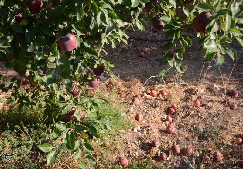 درو شدن دسترنج باغداران کهگیلویه و بویراحمد؛ «بود و نبود» جهاد کشاورزی تفاوتی ندارد