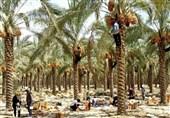 طرح نخلستان استان بوشهر در اراضی 2400 هکتاری به بهره برداری میرسد