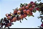 سیب زنجان در انتظار بازارهای صادرات است
