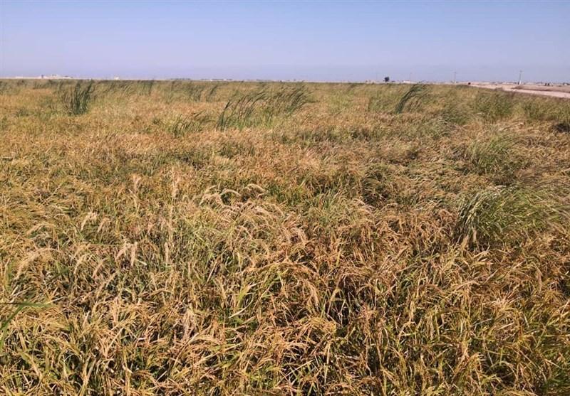 برداشت برنج پس از 40 سال در خرمشهر + فیلم
