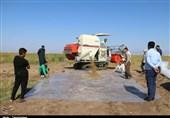 برداشت برنج بعد از 40 سال در خرمشهر به روایت تصویر