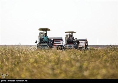 برداشت برنج - خرمشهر