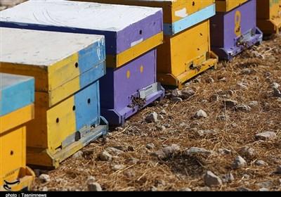 وجود عسلهای تقلبی در بازار کام زنبورداران کهگیلویه و بویراحمد را تلخ کرده است