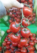 ٹماٹر کی قیمت بےقابو / ایران سے درآمد کرنے کا فیصلہ