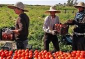 100 هزار تن محصول گوجه فرنگی خارج از فصل استان بوشهر صادر میشود