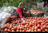 کاشان| انگیزهای برای باغداران انار بادرودی نمانده است