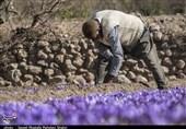 «خام فروشی، حراج اموال مردم»|تجارت زعفران دنیا 8 میلیارد دلار، سهم ایران 400 میلون دلار! «آتش زدم به مالم»