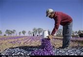 برآورد خسارت 100 میلیارد ریالی به زعفرانکاران گناباد + فیلم