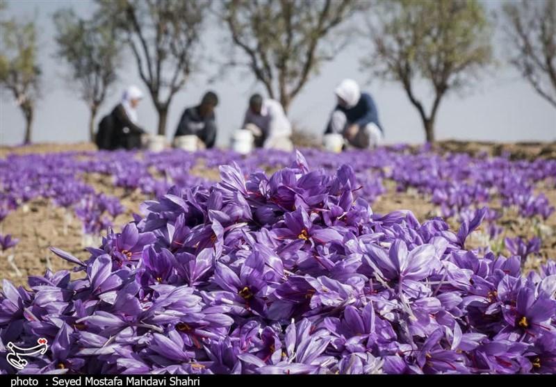 دولت زعفران را گرمی 8200 تومان از کشاورز میخرد