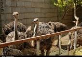 50 تن گوشت شترمرغ سالانه در استان گیلان تولید میشود