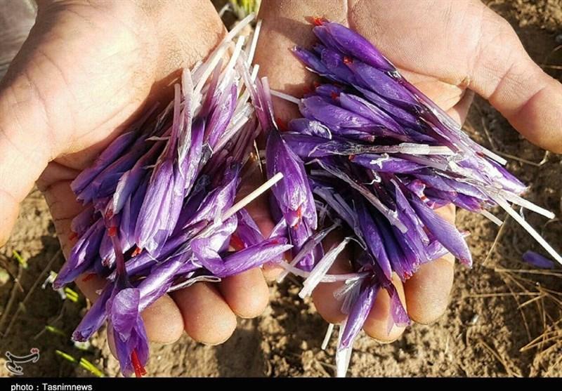 روایتی تلخ از وضعیت صادرات زعفران در ایران / زعفران ناب ایرانی به نام اسپانیا شناخته میشود