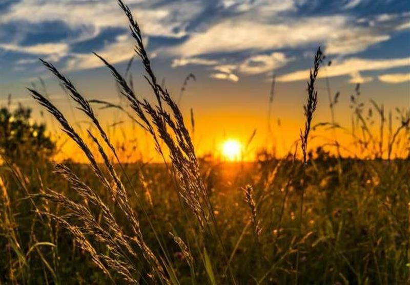 حمله آفت سن گندم به گندمزارهای زنجان / توصیه جهاد کشاورزی به کشاورزان