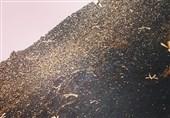 مبارزه با ملخ صحرایی در سه استان کشور/ کشاورزان نگران نباشند
