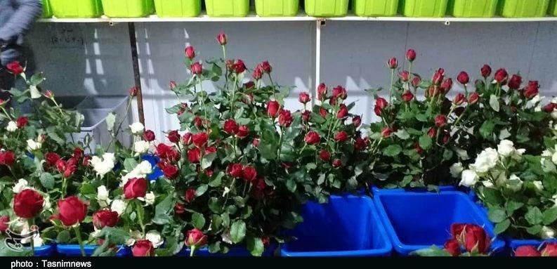 ایجاد بزرگترین مرکز پرورش گل رز هلندی در لرستان؛ آستینهایی که برای رونق تولید بالا زده شد + فیلم