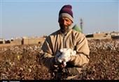 یک کشاورز نمونه: دولت سازندگی خودکفایی تولید پنبه را فلج کرد