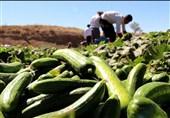 گزارش| افت قیمت خیارسبز در جنوب کرمان / کشاورزان از خیر فروش محصول گذشتند