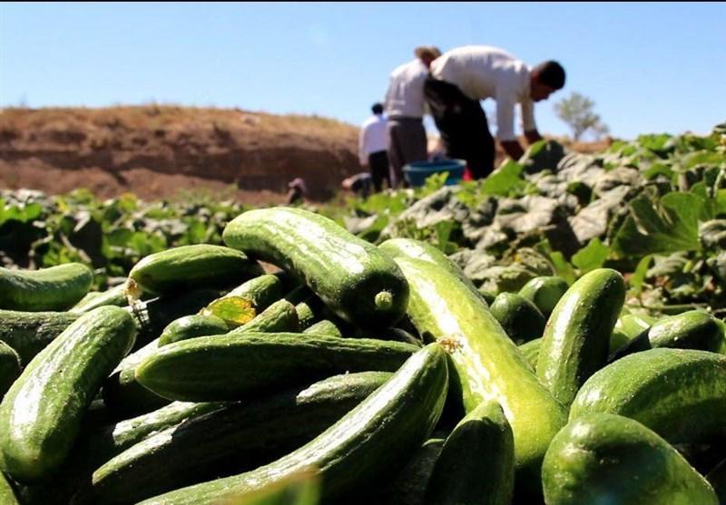 خیار روی دست کشاورزان باد کرد/کاهش قیمت خرید خیار به 200 تومان