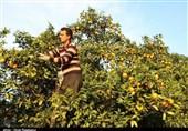 نبود سردخانه و میدان عرضه میوه و ترهبار حاصل زحمت کشاورزان کهگیلویه و بویراحمد را نصیب جیب دلالان میکند