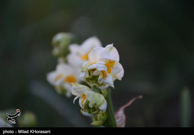 اشتغال زایی هر هکتار نرگسزار برای حداقل 20 نفر/ رامشیر به توسعه کشت و تولید گل نیاز دارد + فیلم