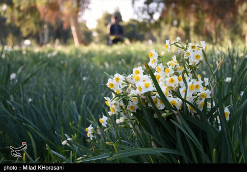 برداشت سالانه 300 میلیون شاخه نرگس در فارس/ رکورددار تولید گل نرگس در ایران واحد فرآوری ندارد