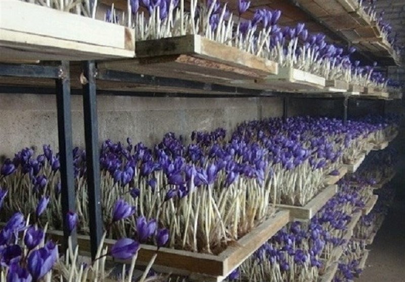 کل تولید زعفران ایران تا 3 سال آینده به گلخانه میرود