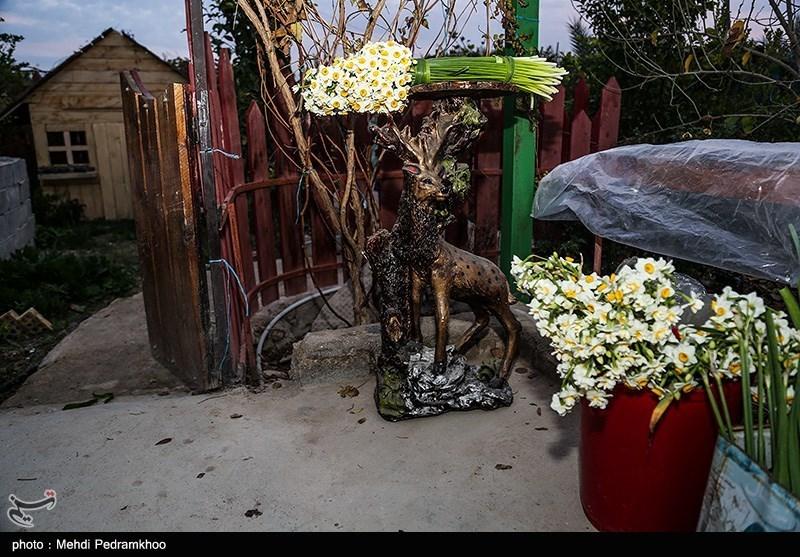 برداشت گل نرگس در بهبهان
