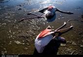 مرگ بیش از 7 هزار قطعه پرنده زمستانگذران در گلستان/ احتمال « نیوکاسل» و « آنفلوآنزا» رد شد