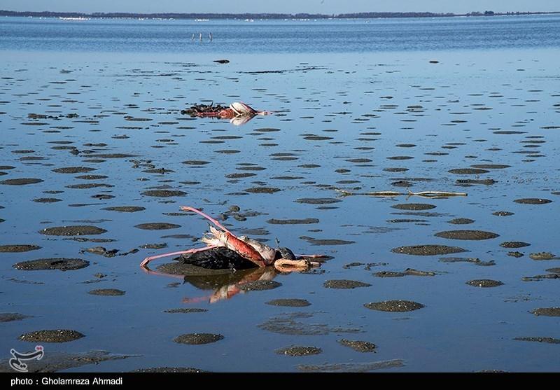 تلفات عجیب پرندگان مهاجر در خلیج گرگان