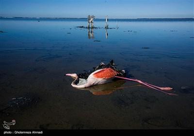 مرگ پرندگان در تالاب میانکاله