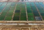 تولید میگوی پرورشی در استان بوشهر به 30 هزار تن افزایش مییابد +فیلم
